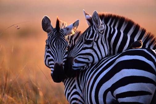 Animal Body「Two plains zebra (Equus burchelli) nuzzling」:スマホ壁紙(6)