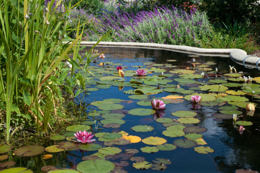 Water Lily「Fish pond with lily pads」:スマホ壁紙(15)