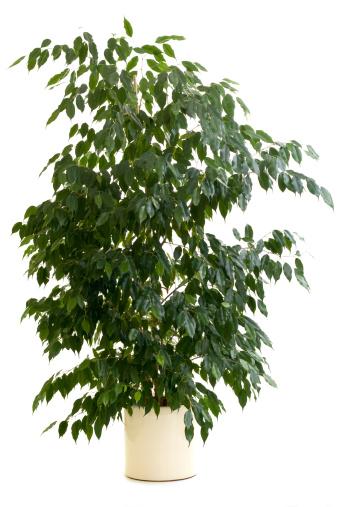 Branch - Plant Part「Ficus tree in tan flowerpot on white background」:スマホ壁紙(7)