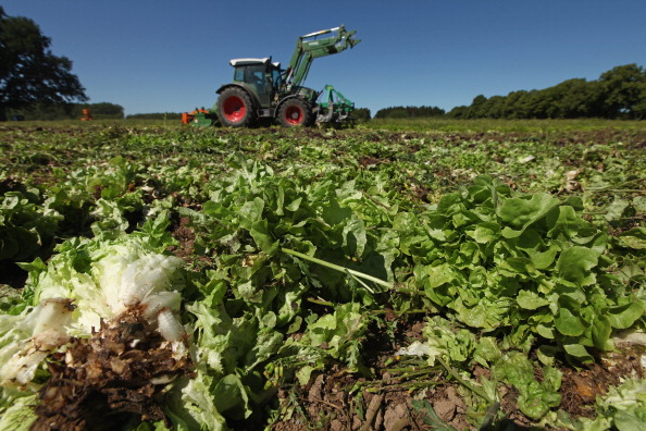 Romaine Lettuce「Farmers Fear Ruin Following EHEC Outbreak」:写真・画像(3)[壁紙.com]
