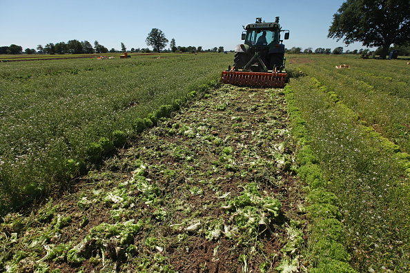 Romaine Lettuce「Farmers Fear Ruin Following EHEC Outbreak」:写真・画像(17)[壁紙.com]