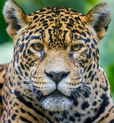 Animals Hunting「Jaguar looking at camera - Pantanal wetlands, Brazil」:スマホ壁紙(13)