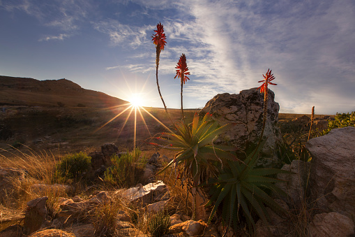 花「Aloe on a high mountain rocks landscape sunset with cloudy skies - Dullstroom, South Africa」:スマホ壁紙(11)