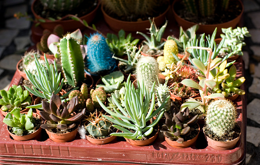 Flower Shop「Variety of cacti for sale」:スマホ壁紙(6)