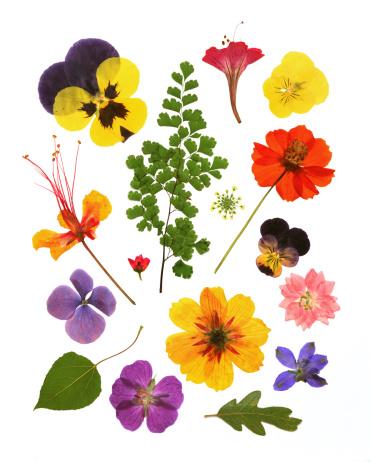 Dried Plant「Variety of pressed flowers」:スマホ壁紙(11)