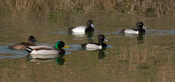 Birds「Variety of ducks swimming on pond.」:スマホ壁紙(4)