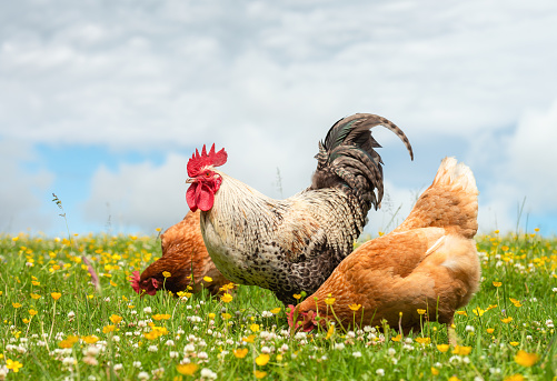 Rhode Island Red Chicken「Cockerel and hens outdoors in summer meadow」:スマホ壁紙(16)