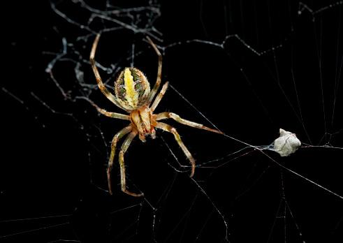 Spider Web「Female garden spider with eggs sac」:スマホ壁紙(18)