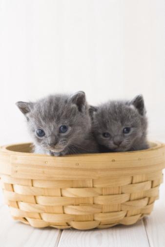 純血種のネコ「Two Chartreux in a basket」:スマホ壁紙(19)
