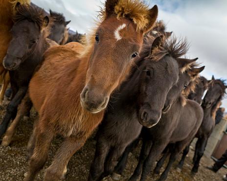 Stallion「Annual Horse Round Up-Laufskalarett, Skagafjordur, Iceland」:スマホ壁紙(16)