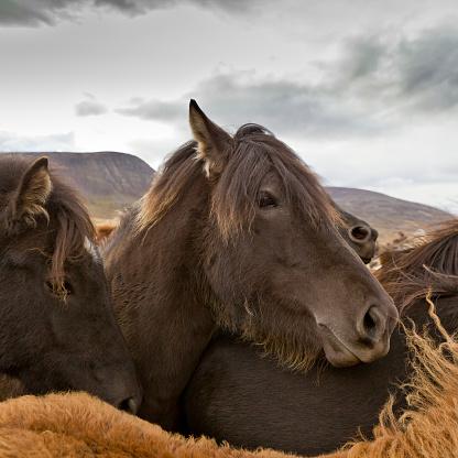 Stallion「Annual Horse Round Up-Laufskalarett, Skagafjordur, Iceland」:スマホ壁紙(17)