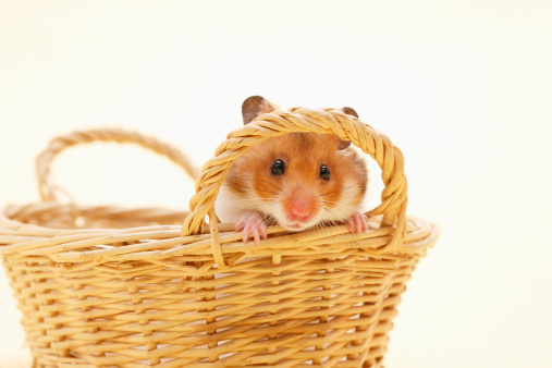 ペット「Golden hamster (Mesocricetus auratus) in basket, close-up, studio shot」:スマホ壁紙(16)