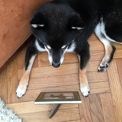 Buenos Aires「Shiba Inu dog, black and tan.  Older dog looking at photo of himself as a puppy.」:スマホ壁紙(3)