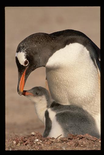 Falkland Islands「Adult Gentoo Penguin with Young」:スマホ壁紙(5)