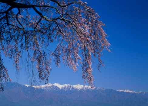 桜「Central Alps and Cherry Blossoms, Matsukawa, Nagano, Japan」:スマホ壁紙(9)