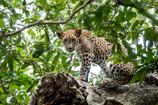 Sri Lanka「Sri Lankan Leopard standing on a treetop」:スマホ壁紙(15)