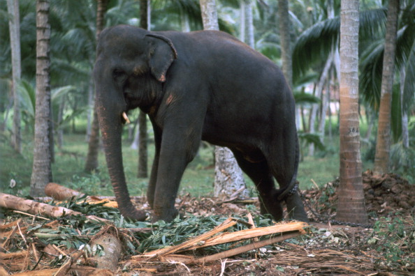 Sri Lankan Ethnicity「Sri Lankan elephant. Artist: CM Dixon」:写真・画像(18)[壁紙.com]