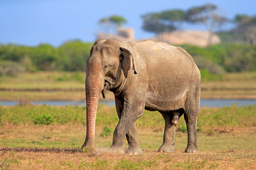 Sri Lanka「Sri Lankan Elephant, (Elephas maximus maximus)」:スマホ壁紙(12)