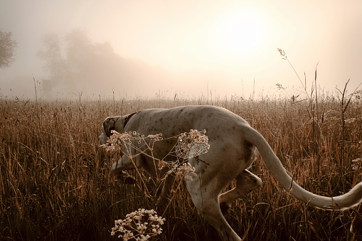 Animals Hunting「Germany, Hound dog hunting in morning light」:スマホ壁紙(17)