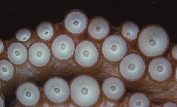 Suckers On Tentacles Of Octopus Vulgaris:ニュース(壁紙.com)