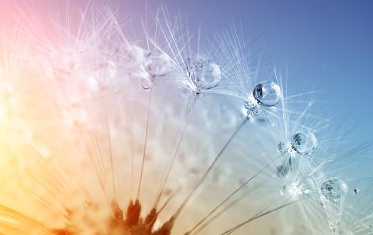 Wildflower「defocused drops on dandelion seed - abstract and minimalism」:スマホ壁紙(8)