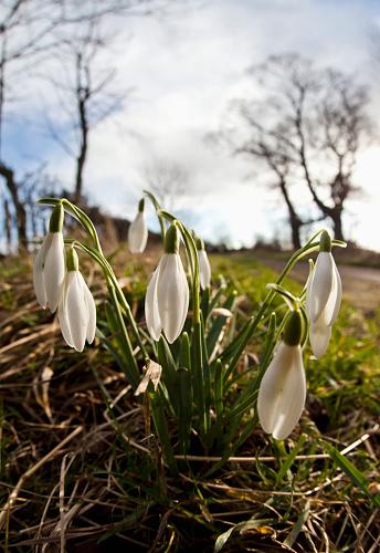 Drooping「Snowdrops (galanthus); northumberland england」:スマホ壁紙(18)