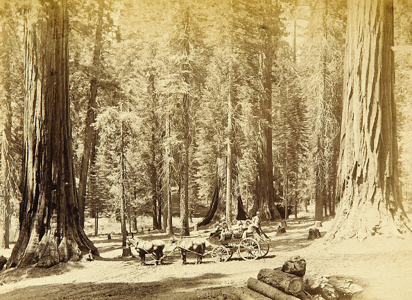 Sequoia Tree「Thru The Sequoias By Stagecoach」:写真・画像(17)[壁紙.com]