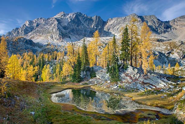 Alpine larches (Larix lyallii) and tarn below Mount Monica 3072 m (10079 ft), Purcell Mountains, British Columbia, Canada:スマホ壁紙(壁紙.com)