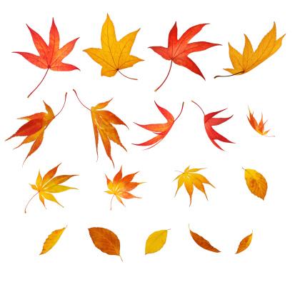 かえでの葉「絶縁落ちる秋の葉」:スマホ壁紙(11)