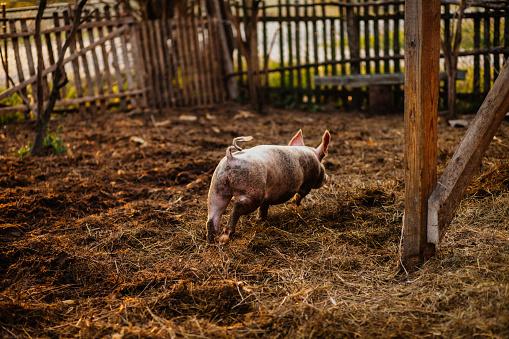 Animal Ear「Pig」:スマホ壁紙(2)