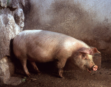 Full Length「pig」:スマホ壁紙(5)
