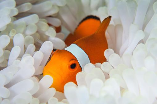 カクレクマノミ「A false clownfish snuggles amongst its hosts tentacles on a reef.」:スマホ壁紙(10)