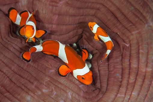 カクレクマノミ「False clownfish swimming around their host anemone.」:スマホ壁紙(6)