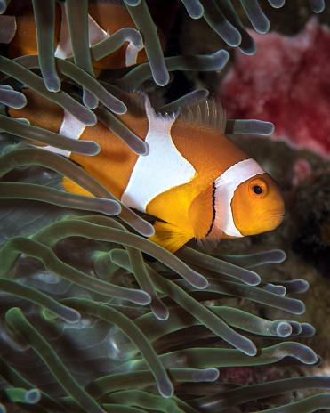 カクレクマノミ「False clownfish in an anemone in North Sulawesi, Indonesia.」:スマホ壁紙(19)