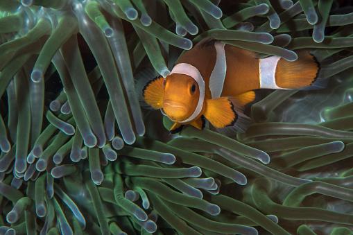 カクレクマノミ「False clownfish in an anemone in North Sulawesi, Indonesia.」:スマホ壁紙(15)