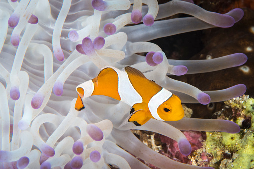Clownfish「False clownfish in North Sulawesi, Indonesia.」:スマホ壁紙(19)