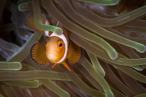 カクレクマノミ「False clownfish in North Sulawesi, Indonesia.」:スマホ壁紙(18)