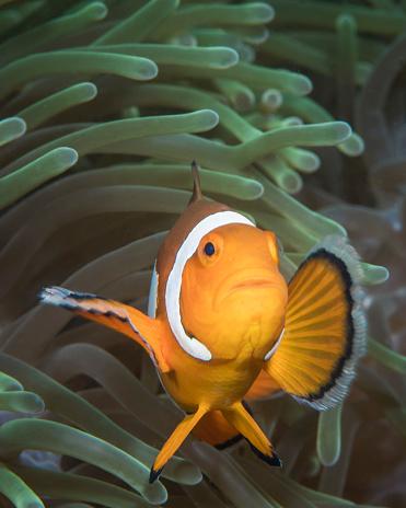 カクレクマノミ「False clownfish in North Sulawesi, Indonesia.」:スマホ壁紙(17)