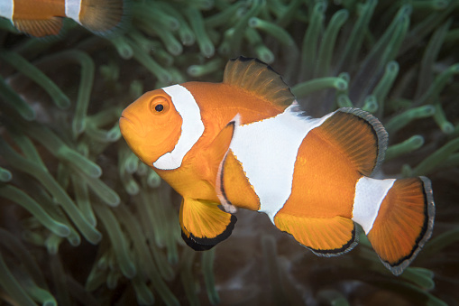 カクレクマノミ「False clownfish in North Sulawesi, Indonesia.」:スマホ壁紙(2)