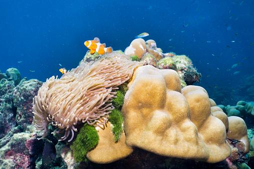 カクレクマノミ「サンゴ礁、Koh Rok、タイで偽ピエロ魚カクレクマノミ (カクレクマノミ)」:スマホ壁紙(10)