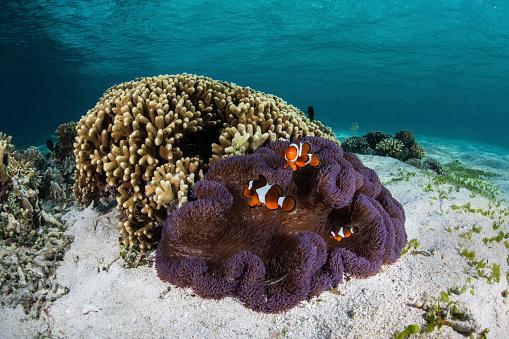 カクレクマノミ「False clownfish swim near their host anemone.」:スマホ壁紙(9)