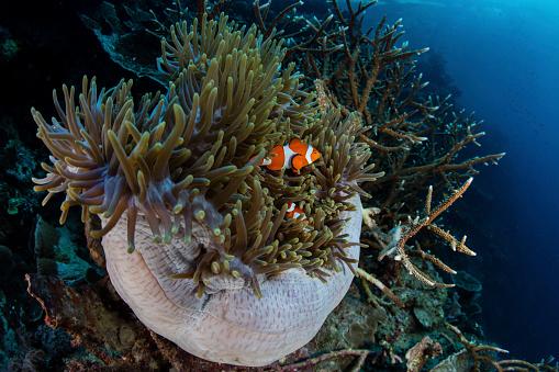 カクレクマノミ「False clownfish (Amphiprion ocellaris) swim amongst their host anemone.」:スマホ壁紙(3)