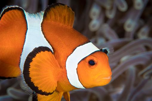 カクレクマノミ「False clownfish in Komodo, Indonesia.」:スマホ壁紙(12)