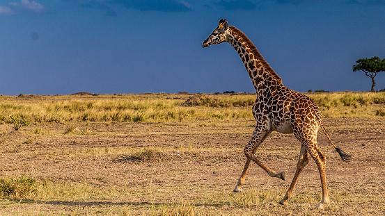 Giraffe「Giraffe running on the plains」:スマホ壁紙(16)