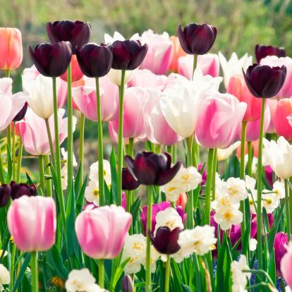 水仙「スプリングガーデン:チューリップ、daffodils 、muscari 花-XII」:スマホ壁紙(2)