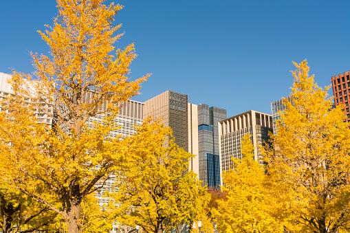 紅葉「Marunouchi High-rise office buildings stand behind the rows of autumn leaves Ginkgo trees along the Gyoko-Dori at Marunouchi Tokyo Japan on November 21 2017.」:スマホ壁紙(8)