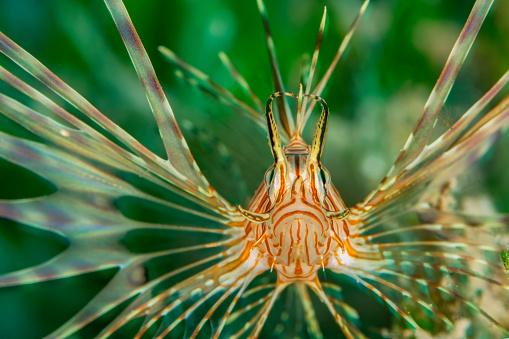 Furious「Egypt, Red Sea, Hurghada, Indian lionfish」:スマホ壁紙(17)