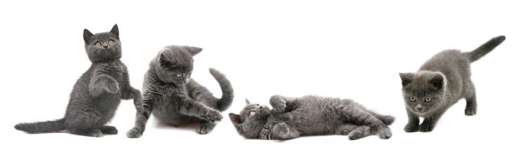 Kitten「gray cats」:スマホ壁紙(3)