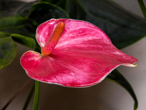 flower「Anthurium flower disk」:スマホ壁紙(3)