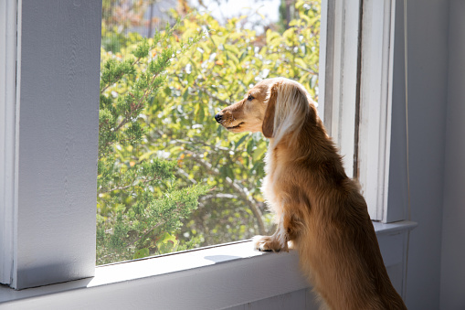 Dachshund「Long haired dachshund looking out the window」:スマホ壁紙(11)
